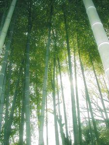 Bamboo-grove-japan-34281-o