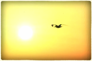 Bird_sunrise_flying_244946_l