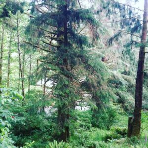 A giant Sitka Spruce